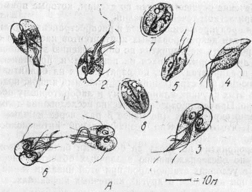Lamblia intestinalis