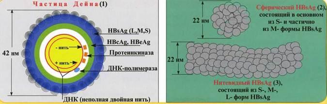 Схема гепатита в новорожденному
