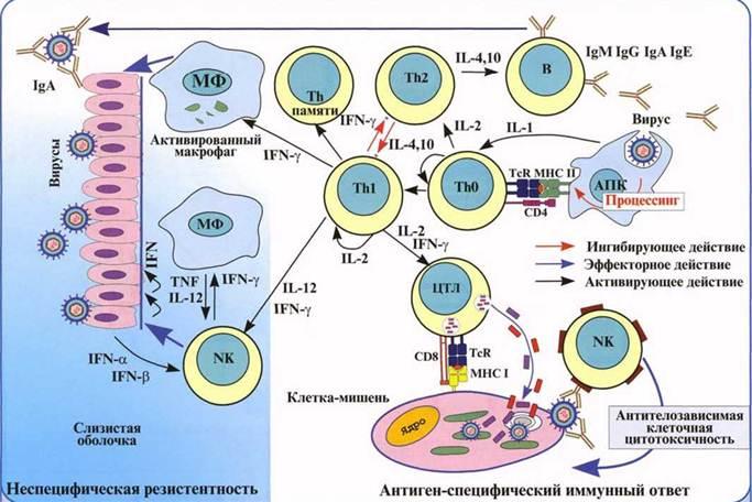 Противовирусный иммунитет